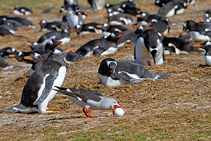 Dolphin gull (Larus scoresbii), stealing an egg in the colony of Gentoo penguin, Sea Lion Island, Falkland Islands  -  Sylvain Cordier