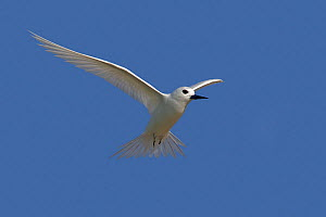White tern (Gygis alba), in flight, Sand island, Midway Atoll National Wildlife Refuge, Hawaii - Sylvain Cordier