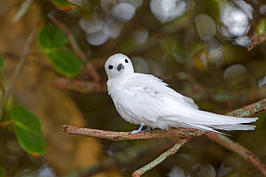 White tern (Gygis alba), perched on a branch, Sand island, Midway Atoll National Wildlife Refuge, Hawaii - Sylvain Cordier