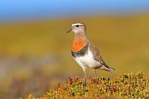 Rufous-chested plover (Charadrius modestus), adult near by the nest, Pebble Island, Falkland Islands  -  Sylvain Cordier