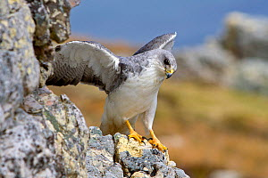 Variable hawk (Buteo polyosoma) male perched with wings stretched on rocks, Pebble Island, Falkland Islands  -  Sylvain Cordier