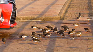 Flock of Turnstones (Arenaria interpres) feeding on a sea wall, Devon, England, UK, January  -  Dave Bevan