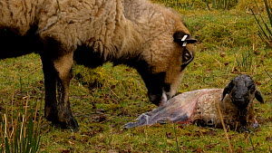 Female Welsh mountain sheep (Ovis aries) eating birth membrane, removing it from lamb, Carmarthenshire, Wales, UK. March. - Dave Bevan