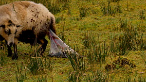 Female Welsh mountain sheep (Ovis aries)  giving birth and removing membrane from lambs face to allow it to breathe, Carmarthenshire, Wales, UK. March. - Dave Bevan