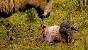 Female Welsh mountain sheep (Ovis aries)  eating birth membrane whilst lamb shakes fluid from nose and ears, Carmarthenshire, Wales, UK. March. - Dave Bevan