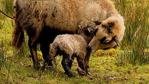 Female Welsh mountain sheep (Ovis aries) eating birth membrane whilst lamb struggles to stand up, Carmarthenshire, Wales, UK. March.  -  Dave Bevan