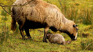 Female Welsh mountain sheep (Ovis aries)  feeding after birth, with lamb resting nearby, Carmarthenshire, Wales, UK. March. - Dave Bevan