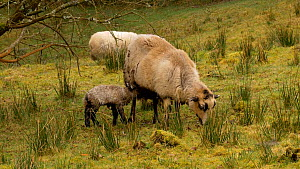Welsh mountain sheep (Ovis aries) lamb standing 20 minutes after birth, searching for udder, Carmarthenshire, Wales, UK. March. - Dave Bevan