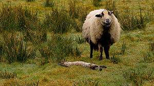 Female Welsh mountain sheep (Ovis aries) looking at dead lamb, Carmarthenshire, Wales, UK. March. - Dave Bevan