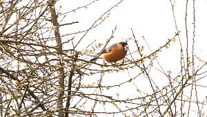 Male Bullfinch (Pyrrhula pyrrhula) feeding on Blackthorn (Prunus spinosa) blossom, Glamorgan, Wales, UK. March.  -  Dave Bevan