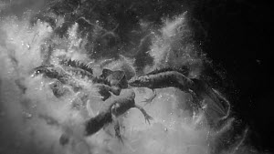 Male Great crested newt (Triturus crustatus) displaying towards another male in a pond, with two females nearby and another male approaching , Somerset, England, UK, April.  Filmed at night using infr... - Nick Upton