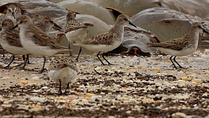 Semipalmated sandpipers (Calidris pusilla) feeding on Horseshoe crab (Limulus polyphemus) eggs, New Jersey, USA, May. - John Cancalosi