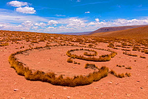 High Altiplano with tussock grass called Paja brava (Festuca orthophylla) showing clonal growth spread. Bolivia. December 2016.  -  Mark Taylor