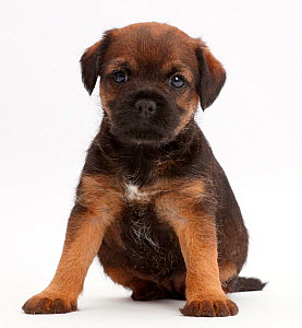 Border Terrier puppy, age 5 weeks. - Mark Taylor
