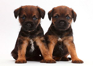 Border Terrier puppies, age 5 weeks. - Mark Taylor