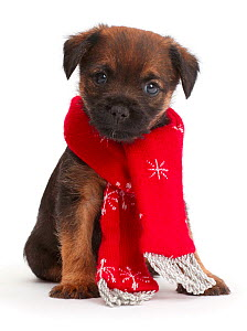 Border Terrier puppy, age 5 weeks, wearing red Christmas scarf. - Mark Taylor