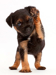 Border Terrier puppy, age 5 weeks, with raised paw. - Mark Taylor