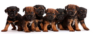 Seven Border Terrier puppies in a line / row , age 5 weeks. - Mark Taylor