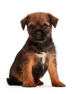 Border Terrier puppy, age 8 weeks. - Mark Taylor