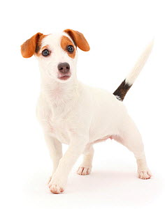 Jack Russell Terrier puppy walking.  -  Mark Taylor
