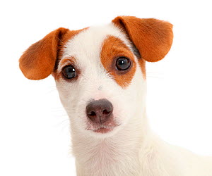 Jack Russell Terrier puppy.  -  Mark Taylor