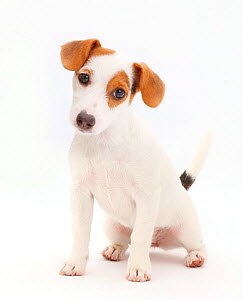 Jack Russell Terrier puppy sitting.  -  Mark Taylor