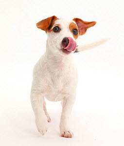 Jack Russell Terrier puppy walking and licking her nose.  -  Mark Taylor