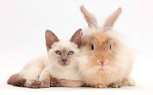 Blue-point kitten with fluffy rabbit. NOT AVAILABLE FOR BOOK USE - Mark Taylor