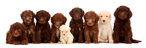 Nine Golden and Chocolate Labradoodle puppies, age 6 weeks sitting in a line / row. The smallest one is the  runt of the litter - Mark Taylor