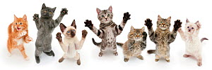 Seven cats standing on back legs,  front paws raised. Digital composite - Mark Taylor