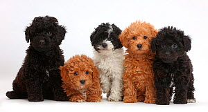Five Toy labradoodle puppies in a row. - Mark Taylor