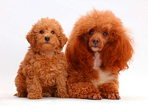 Red Poodle father and Labradoodle puppy. - Mark Taylor