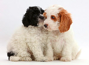 Black-and-white toy Labradoodle puppy with red-and-white Cockapoo puppy. - Mark Taylor