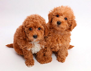 Red Toy labradoodle puppies. - Mark Taylor