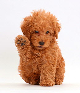 Red Toy labradoodle puppy raising paw. - Mark Taylor