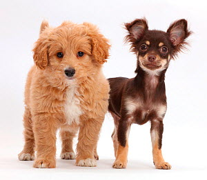 Chocolate-and-tan Chihuahua with Cavapoo puppy. - Mark Taylor