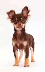 Chocolate-and-tan Chihuahua standing. - Mark Taylor
