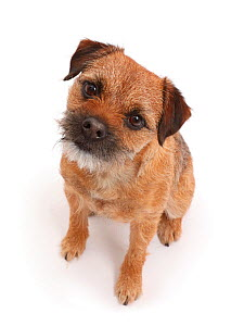 Border Terrier bitch, age 2 years, sitting looking up. - Mark Taylor