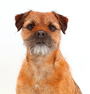 Border Terrier bitch, age 2 years. - Mark Taylor