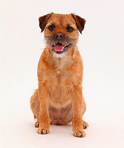 Border Terrier bitch, age 2 years, sitting. - Mark Taylor