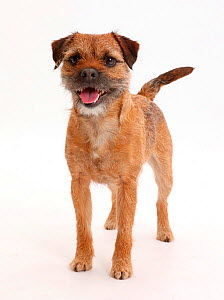 Border Terrier bitch, age 2 years, standing. - Mark Taylor