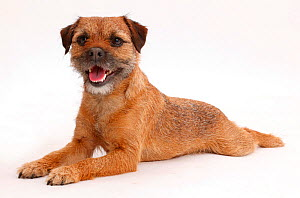 Border Terrier bitch, age 2 years, lying stretched out. - Mark Taylor