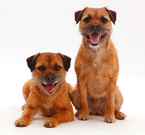 Border Terrier bitches, sitting together. - Mark Taylor