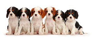 Six Cavalier King Charles Spaniel puppies, four tricolour and two blenheim colours. sitting in a row.  -  Mark Taylor