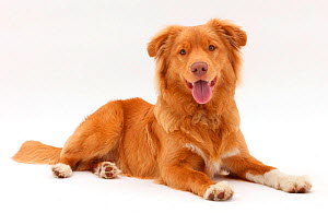 Nova Scotia Duck Tolling Retriever dog, age 6 months. - Mark Taylor