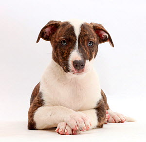 Brindle-and-white Lurcher puppy, age 8 weeks, with crossed paws.  -  Mark Taylor