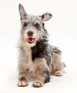 Blue merle mutt lying with head up. - Mark Taylor