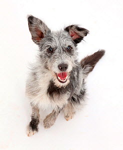 Blue merle mutt sitting and looking up. - Mark Taylor