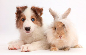Sable-and-white Border Collie puppy,  age 8 weeks, with fluffy rabbit. NOT AVAILABLE FOR BOOK USE - Mark Taylor