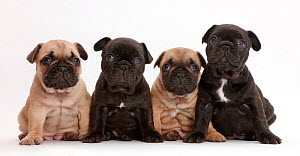 Four French Bulldog puppies sitting in a row / line, age 5 weeks  -  Mark Taylor